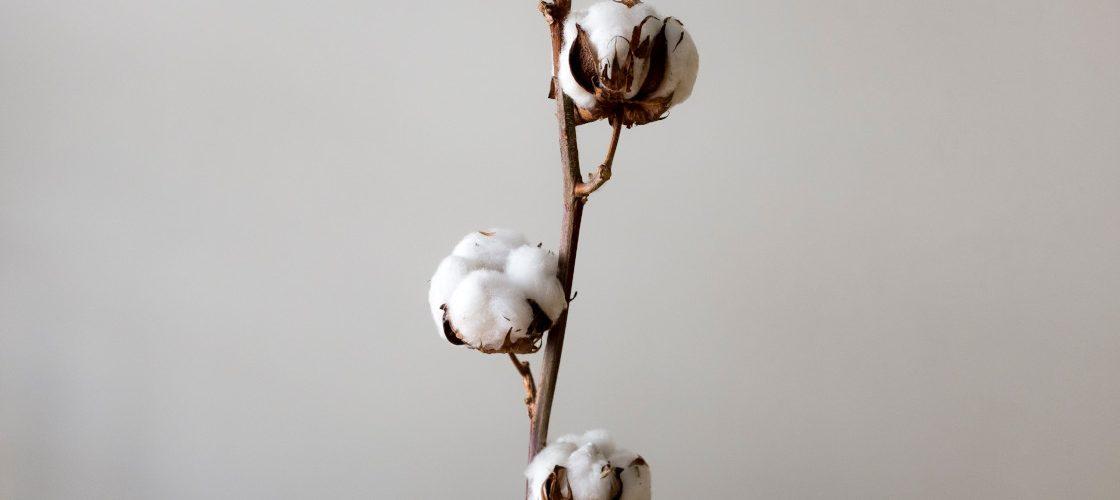 Planta algodón